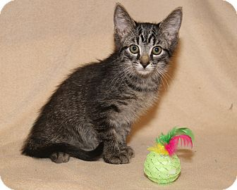 Domestic Shorthair Kitten for adoption in Marietta, Ohio - Tig (Orphan w/Bella)
