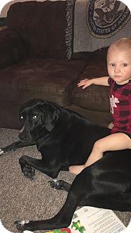 Labrador Retriever/Hound (Unknown Type) Mix Dog for adoption in bath, Maine - DEXTER