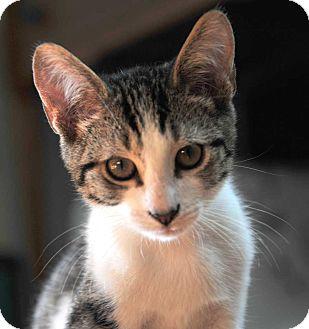 Domestic Shorthair Kitten for adoption in Waterbury, Connecticut - Galileo