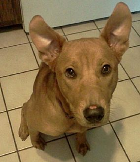 Carolina Dog Mix Dog for adoption in Brooksville, Florida - Jewels