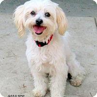 Adopt A Pet :: Chazz (Ritzy) - Lindsay, CA