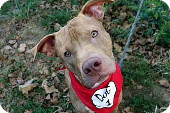 American Pit Bull Terrier Mix Dog for adoption in Manhattan, New York - Maxx