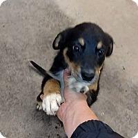 Adopt A Pet :: Blue Heeler Puppies - Denver, CO