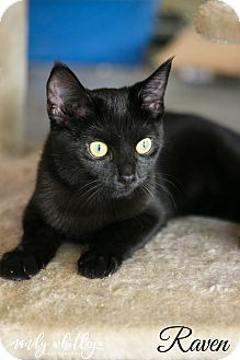 Domestic Shorthair Cat for adoption in Franklin, Tennessee - Raven