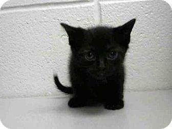 Domestic Shorthair Kitten for adoption in Houston, Texas - PETER