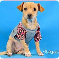 Adopt A Pet :: Panchito - Phoenix, AZ
