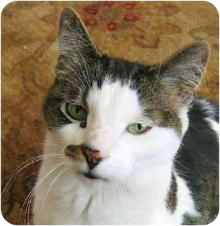 Domestic Shorthair Cat for adoption in Plainville, Massachusetts - Snickers