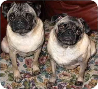 Pug Dog for adoption in Edmeston, New York - Mazie-NY