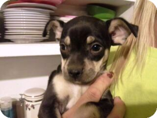 Miniature Pinscher/Pug Mix Puppy for adoption in Phoenix, Arizona - Michelle