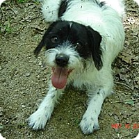 Adopt A Pet :: Buffy - Franklinton, NC
