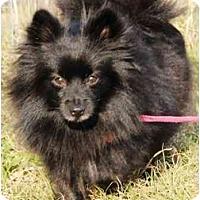 Adopt A Pet :: Beauty - Houston, TX