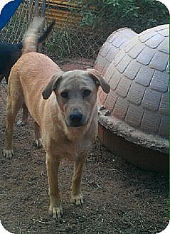 Golden Retriever Mix Dog for adoption in Blanchard, Oklahoma - Sundance