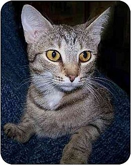 Domestic Shorthair Cat for adoption in Rochester, New York - Tammy