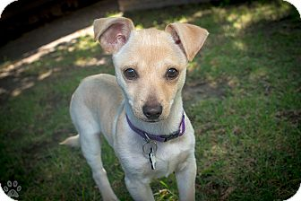 greyhound terrier mix studio city ca italian greyhound jack russell terrier 6872