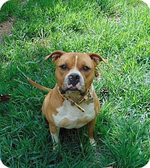 American Staffordshire Terrier Mix Dog for adoption in Charlotte, North Carolina - Jonesy