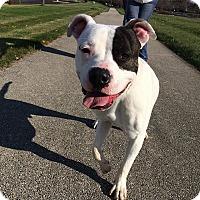 Adopt A Pet :: Richie - Vernon Hills, IL