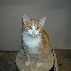 Photo 2 - American Shorthair Cat for adoption in Westville, Indiana - Maximus