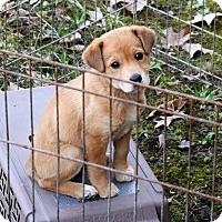 Adopt A Pet :: Marigold - Brattleboro, VT