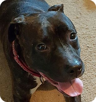 Pit Bull Terrier Mix Dog for adoption in Tomball, Texas - Star