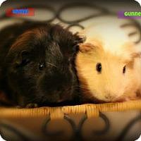 Guinea Pig for adoption in Walker, Louisiana - Mundi