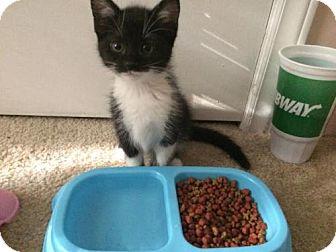 Domestic Shorthair Kitten for adoption in Greensboro, North Carolina - Riley & Kimba - **COURTESY LISTING**