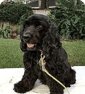 Cocker Spaniel Dog for adoption in Sugarland, Texas - Bella/Zuzu