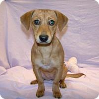 Adopt A Pet :: 16-d10-002 Maggie - Fayetteville, TN