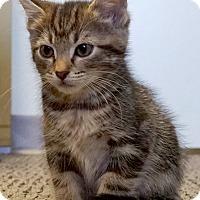 Adopt A Pet :: Libra - Bethesda, MD