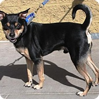 Adopt A Pet :: Chaco - Gilbert, AZ