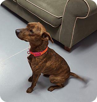 Terrier (Unknown Type, Medium) Mix Dog for adoption in Hawk Point, Missouri - Denali