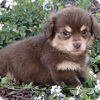 Tibetan Spaniel Mix Puppy for adoption in Palo Alto, California - Claus: Sleigh Belle