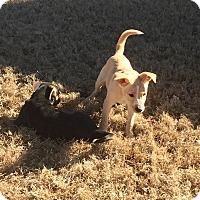 Adopt A Pet :: POLLI - HAGGERSTOWN, MD