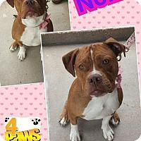 Adopt A Pet :: Nona - Fenton, MO