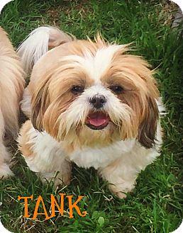 Shih Tzu Dog for adoption in Phoenix, Arizona - TANK
