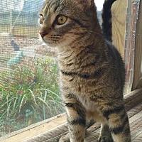 Adopt A Pet :: Tabsy - Flint HIll, VA