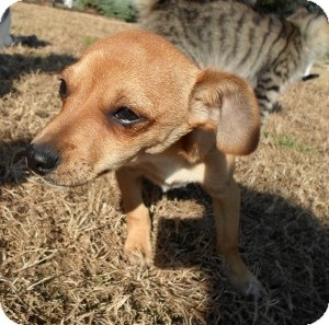 Dachshund/Chihuahua Mix Puppy for adoption in Santa Monica, California - Dante
