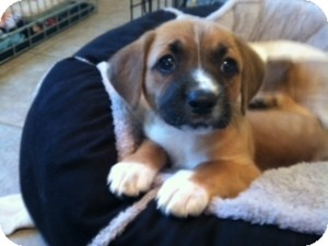 Jack Russell Terrier/Beagle Mix Puppy for adoption in Marlton, New Jersey - Baby Abby