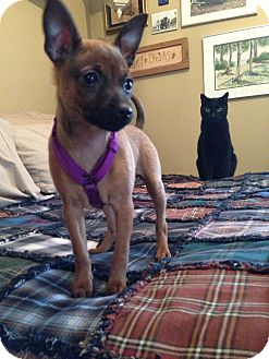 Miniature Pinscher Mix Puppy for adoption in Huntsville, Ontario - Sally - Sweet!