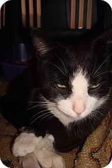 Domestic Shorthair Cat for adoption in Brooklyn, New York - Tux