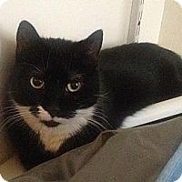 Adopt A Pet :: Tuxie - Brooklyn, NY