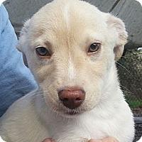 Adopt A Pet :: BBoy#5M - Orlando, FL