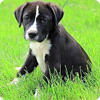 Adopt A Pet :: Lacy - Staunton, VA