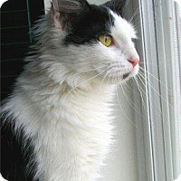 Domestic Shorthair Cat for adoption in Waupaca, Wisconsin - Meow Meow