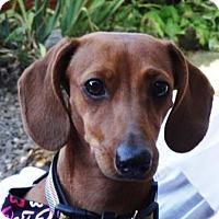 Adopt A Pet :: TRIXIE - Portland, OR