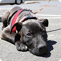 Adopt A Pet :: Baloo - Newtown, CT