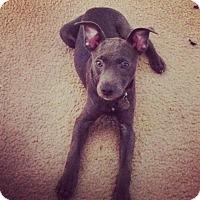 Adopt A Pet :: Anja - PORTLAND, ME