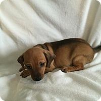 Adopt A Pet :: Petie - Hampton, VA