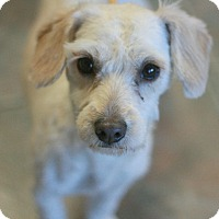 Adopt A Pet :: Annie - Terripoo! - Canoga Park, CA