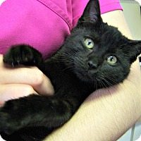 Adopt A Pet :: Midnight - Toledo, OH
