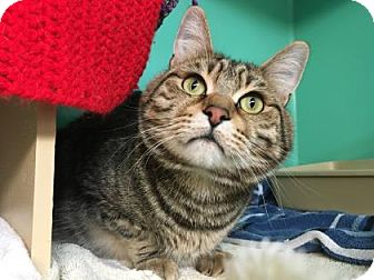 Domestic Shorthair Cat for adoption in Bellevue, Washington - Gucci